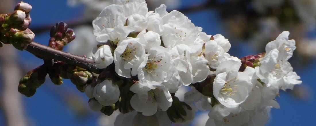 Cerisier en fleur01-min